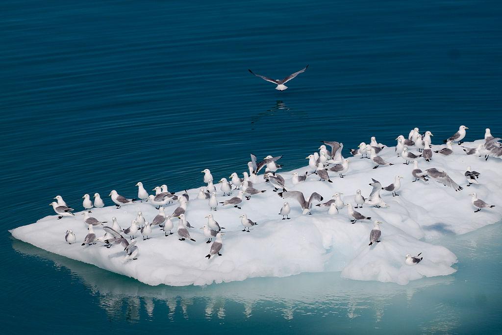 A flock of black-legged kittiwakes on an iceberg.jpg