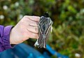 A geo-locator attached as a backpack on a song bird (efa869a4-b7a9-41a9-b250-029151d6f08b).jpg
