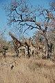 A journey of giraffes (5943579786).jpg
