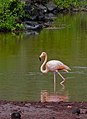 A pink flamingo in the Galapagos Islands. (6064103483).jpg
