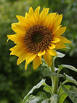 Sunflowers display bright yellow colors.