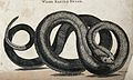 A wood rattle-snake. Etching by Heath. Wellcome V0021221.jpg