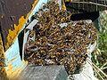 Abeilles-bees-treatment-varroa.jpg