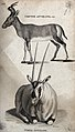Above, a vervine antelope; below, a white antelope. Etching Wellcome V0021202.jpg