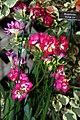 Abutilon Kristens Pink 2zz.jpg