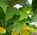 Abutilon x hybridum 'Moonchimes' Leaves 2550px.jpg