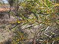 Acacia ancistrocapa flowers and foliage.jpg