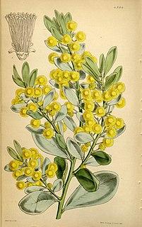 <i>Acacia argyrophylla</i> species of plant