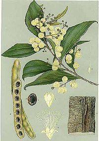 Acacia binervata-Minchen