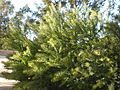 Acacia cultriformis 1c.JPG