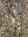 Acacia haematoxylon02.jpg