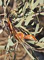 Acacia murrayana fruit.jpg