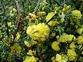 Acacia stenoptera 5500.jpg