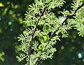 Acacia tortilis subsp heteracantha, loof en peule, Wonderboom NR, b.jpg