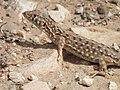 Acanthodactylus-beershebensis 20120324 4151.JPG