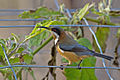 Acanthorhynchus tenuirostris -Victoria, Australia-8.jpg