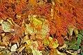 Acer-japonicum-DD-4.jpg