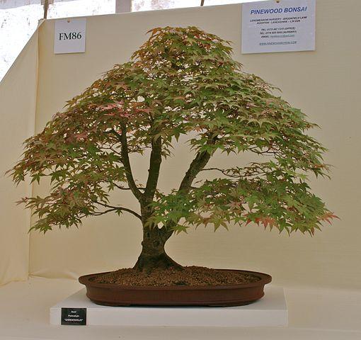 510px-Acer_Palmatum_bonsai.jpg