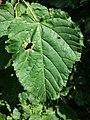 Acer tataricum (subsp. tataricum) sl3.jpg