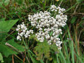 Achillea millefolium 03898.jpg