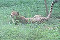 Acinonyx jubatus - India 1.JPG