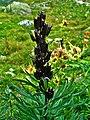Aconitum napellus 005.JPG