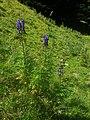 Aconitum napellus plant (17).jpg