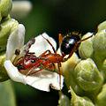 Acrobatic Pollinator (Florida Carpenter Ant) (9112104230).jpg