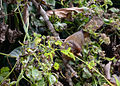 Actinodura egertoni.jpg