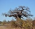 Adansonia digitata, Krugerwildtuin.jpg