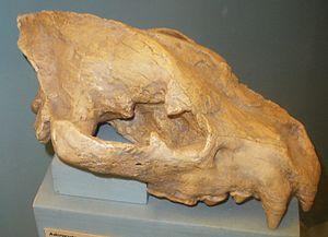 Adcrocuta - A. eximia skull