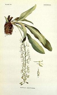 Addisonia (PLATE 016) (8574247021).jpg