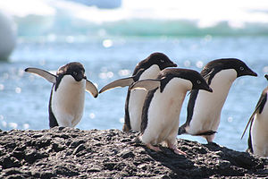Underwater camouflage - Adelie penguins, Pygoscelis adeliae, are white below and dark above.