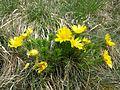 Adonis vernalis sl22.jpg