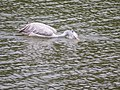 Adult Spot-billed Pelican (14934080076).jpg