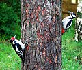 Adult female and juvenile male great spotted woodpeckers (2607571260).jpg