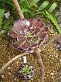 Aeonium arboreum 'Atropurpureum'2.jpg