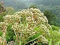 Aeonium percarneum - University of California Botanical Garden - DSC08917.JPG