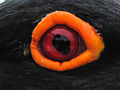 African Black Oystercatcher eye (2).jpg