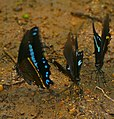 African Blue-banded Swallowtails (Papilio nireus lyaeus) (33162004806).jpg