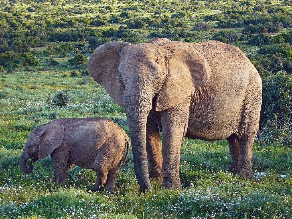 Madre e hijo de Elefante africano (Loxodonta africana).