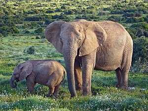 Albany thickets - African bush elephants in Addo National Park