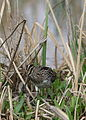 African Snipe, Gallinago nigripennis at Marievale Nature Reserve, Gauteng,South Africa (21332498479).jpg
