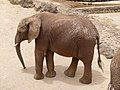 African bush elephant - afrikanischer Elefant - Éléphant de savane d'Afrique - Loxodonta africana - 03.jpg