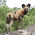 African wild dog, Lycaon pictus at Savuti, Chobe National Park, Botswana.jpg