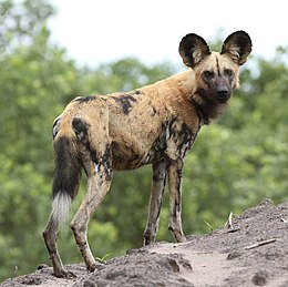 African wild dog, Lycaon pictus at Savuti, Chobe National Park, Botswana.jpg