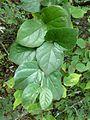 Afrocanthium gilfillanii, loof, b, Walter Sisulu NBT.jpg