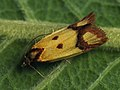 Agapeta zoegana - Sulphur knapweed moth - Листовёртка васильковая (40607230094).jpg