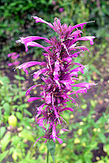 Agastache mexicana, the Mexican Giant Hyssop (10498755984).jpg