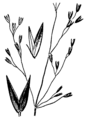 Agrostis aequivalvis drawing.png